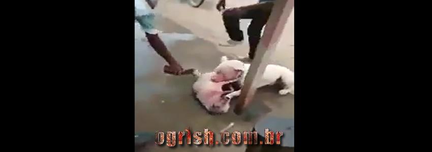 Vídeo de Pitbull atacando cão indefeso